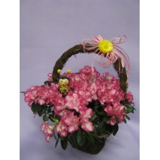 Саксийно растение Азалия, аранжирано в кошничка.